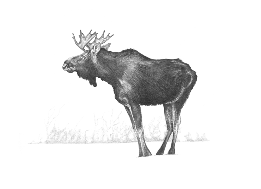 Moose | Illustrate My Day